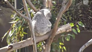 Safeer at Home San Diego Zoo Koala