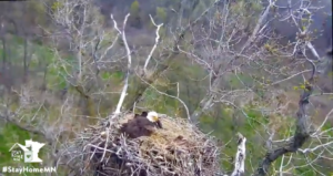Eagle cam in Minnesota.